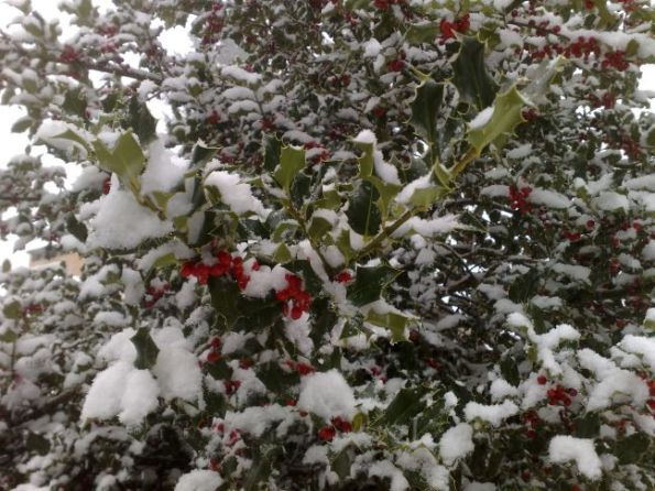 holly-tree2