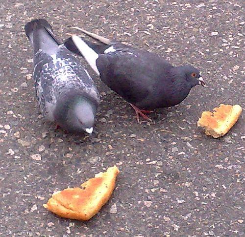 main-pigeon-3