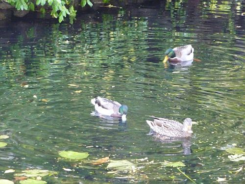 Ducks swimming in park
