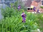 26 AHA MEDIA sees Hastings Folk Garden in Vancouver Downtown Eastside(DTES)