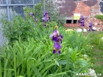 26 AHA MEDIA sees Hastings Folk Garden in Vancouver Downtown Eastside (DTES)