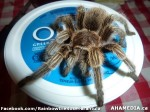 160 AHA MEDIA sees Rainbow the Rose Tarantula in Vancouver