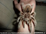 25 AHA MEDIA sees Rainbow the Rose Tarantula in Vancouver