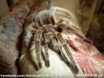 46 AHA MEDIA sees Rainbow the Rose Tarantula in Vancouver