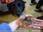 59 AHA MEDIA sees Rainbow the Rose Tarantula in Vancouver