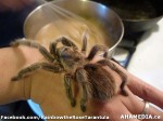 90 AHA MEDIA sees Rainbow the Rose Tarantula in Vancouver