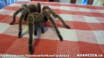 97 AHA MEDIA sees Rainbow the Rose Tarantula in Vancouver
