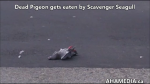 Dead pigeon gets eaten by scavenger seagull (1)